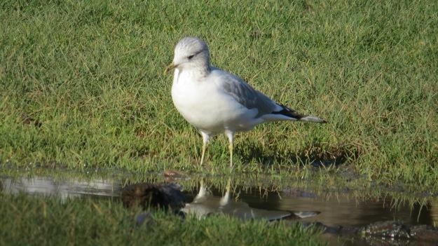 Lone Herring Gull (Larus argentatus)