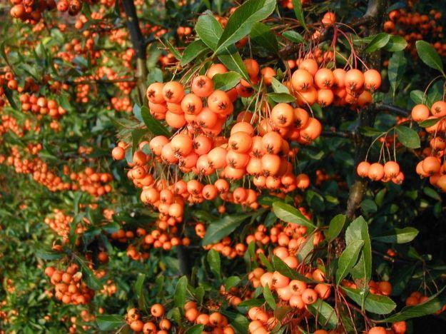 "A fine orange Pyracantha (""Pyracantha-coccinea-berries"". Lizenziert unter CC BY-SA 3.0 über Wikimedia Commons - http://commons.wikimedia.org/wiki/File:Pyracantha-coccinea-berries.JPG)"