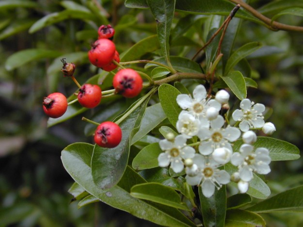 "Pyracantha flowers and fruit (""Starr 021126-0030 Pyracantha angustifolia"" by Forest & Kim Starr. Licensed under CC BY 3.0 via Wikimedia Commons - http://commons.wikimedia.org/wiki/File:Starr_021126-0030_Pyracantha_angustifolia.jpg#mediaviewer/File:Starr_021126-0030_Pyracantha_angustifolia.jpg)"