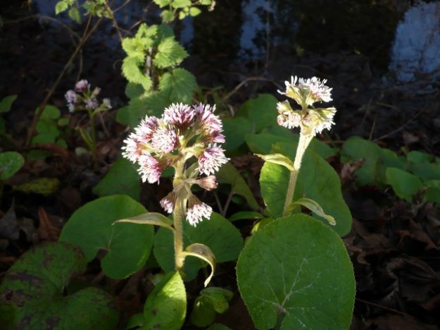 Winter_heliotrope_(petasites_fragrans)_-_geograph.org.uk_-_657074