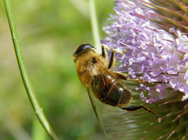 Hoverfly on Teasel flower by Rawdonfox via Flickr (https://www.flickr.com/photos/34739556@N04/14773481592/)