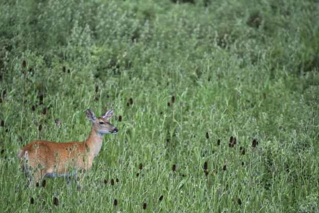 Deer up to her ears in teasel (Hagerty Ryan, U.S. Fish and Wildlife Service)
