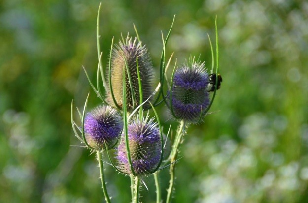 By Radio Tonreg from Vienna, Austria (Dipsacus fullonum  Uploaded by Jacopo Werther) [CC BY 2.0 (http://creativecommons.org/licenses/by/2.0)], via Wikimedia Commons