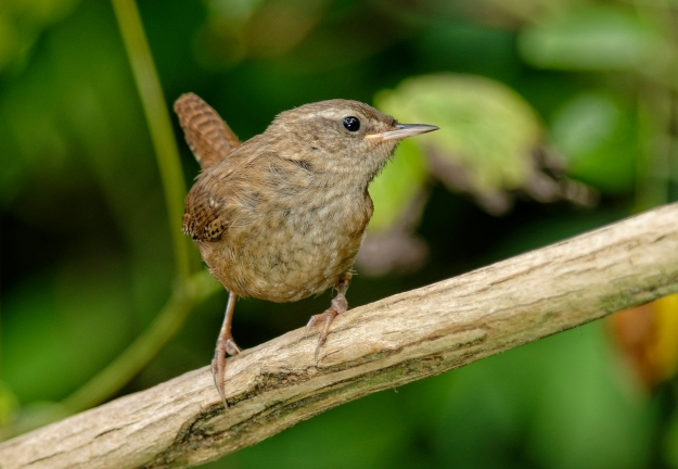 Wren (copyright John Humble)