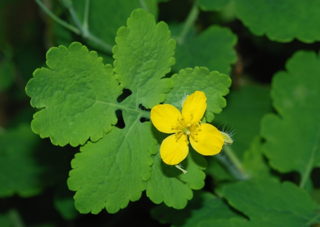 Flower of the Greater Celandine. Doesn't look much like that of Lesser Celandine to me (By Alvesgaspar (Own work (own photo)) [GFDL (http://www.gnu.org/copyleft/fdl.html) or CC BY-SA 3.0 (http://creativecommons.org/licenses/by-sa/3.0)], via Wikimedia Commons)