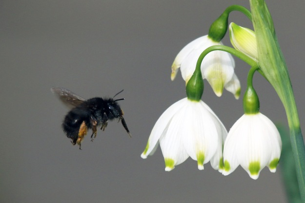 "Hairy-footed Flower Bee and Summer Snowflake (""Hairy-Footed Flower Bee (Anthophora plumipes) on Spring Snowflake (Leucojum vernum)"" by Charlesjsharp - Own work. Licensed under CC BY-SA 3.0 via Wikimedia Commons - http://commons.wikimedia.org/wiki/File:Hairy-Footed_Flower_Bee_(Anthophora_plumipes)_on_Spring_Snowflake_(Leucojum_vernum).JPG#/media/File:Hairy-Footed_Flower_Bee_(Anthophora_plumipes)_on_Spring_Snowflake_(Leucojum_vernum).JPG"