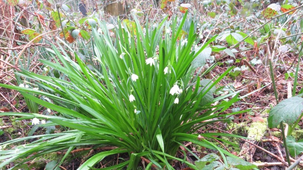 Loddon Lily (also known as Summer Snowflake) Leucojum aestivum