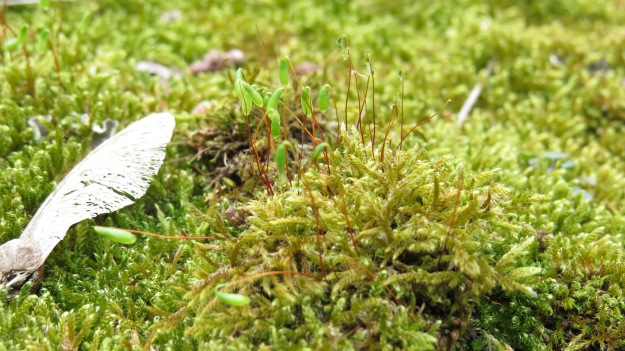 Moss gametophyte (the leafy bit) and sporophyte (the capsules containing the spores)