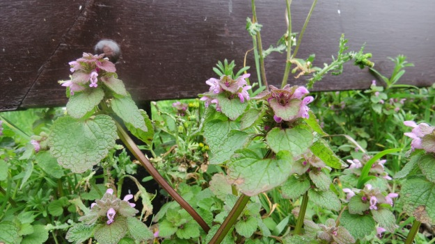 Red Dead-nettle (Lamium purpureum)