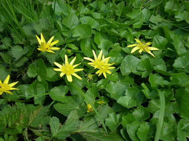 Lesser Celandine in flower (By Alvals (Own work) [GFDL (http://www.gnu.org/copyleft/fdl.html) or CC-BY-SA-3.0 (http://creativecommons.org/licenses/by-sa/3.0/)], via Wikimedia Commons)
