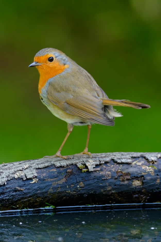 Robin (copyright John Humble)
