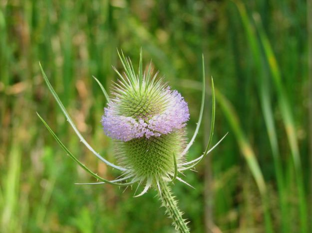 Teasel flower at beginning of flowering period (By D. Gordon E. Robertson (Own work) [CC BY-SA 3.0 (http://creativecommons.org/licenses/by-sa/3.0) or GFDL (http://www.gnu.org/copyleft/fdl.html)], via Wikimedia Commons)