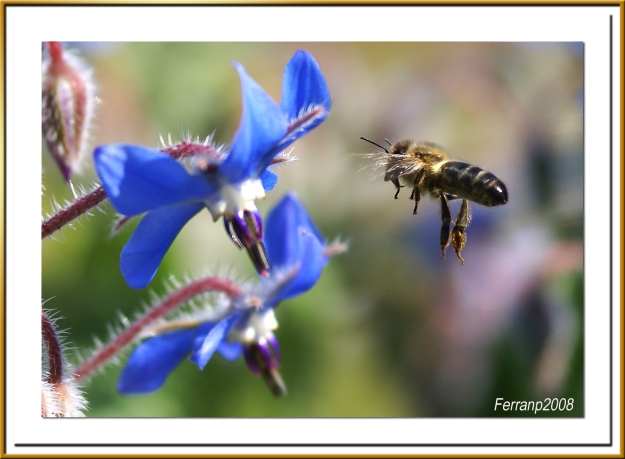 Bee approaching borage, by Ferran Pestana (https://www.flickr.com/photos/ferranp/2358642371/)