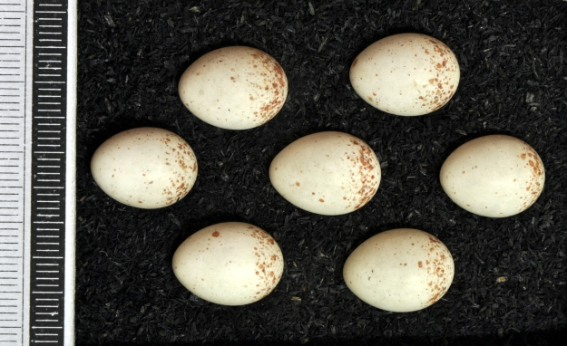 "Treecreeper eggs (""Certhia familiaris MWNH 1434"" by Klaus Rassinger und Gerhard Cammerer, Museum Wiesbaden - Own work. Licensed under CC BY-SA 3.0 via Wikimedia Commons)"