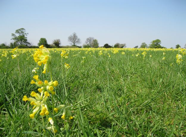 A Cowslip carpet in Cambridgeshire - paths have been made around the meadow to protect the plants. (© Copyright Bob Jones and licensed for reuse under this Creative Commons Licence)