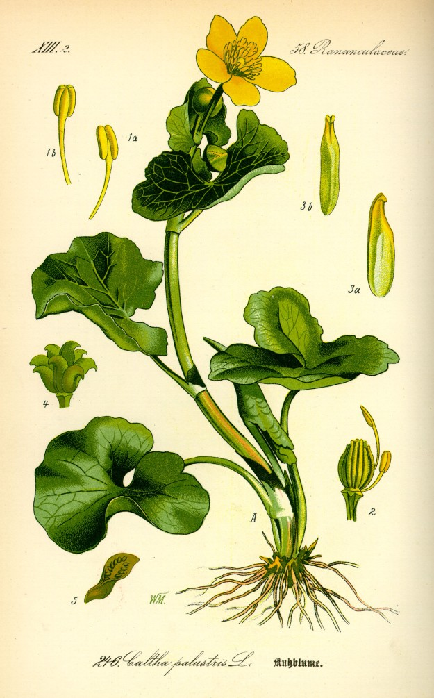 Illustration_Caltha_palustris0