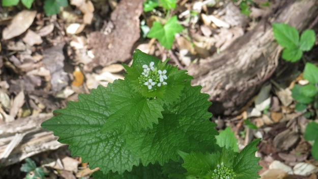 Garlic Mustard or Jack-by-the-Hedge (Alliaria petiolata)