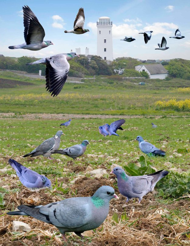 Stock Doves (notice also the woodpigeon centre left for comparison) (By Richard Crossley (The Crossley ID Guide Britain and Ireland) [CC BY-SA 3.0 (http://creativecommons.org/licenses/by-sa/3.0)], via Wikimedia Commons)