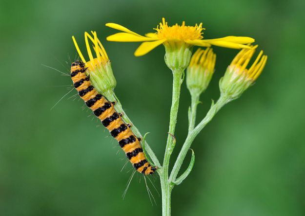 "Caterpillar of the Cinnabar Moth (""Tyria jacobaeae qtl1"" by Quartl - Own work. Licensed under CC BY-SA 3.0 via Wikimedia Commons - http://commons.wikimedia.org/wiki/File:Tyria_jacobaeae_qtl1.jpg#/media/File:Tyria_jacobaeae_qtl1.jpg)"