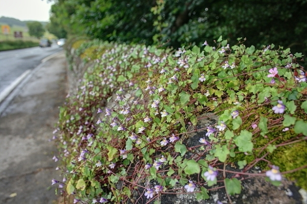 Ivy-leaved Toadflax growing alongside the A6 between Matlock and Bath ( © Copyright Mick Garratt and licensed for reuse under this Creative Commons Licence)