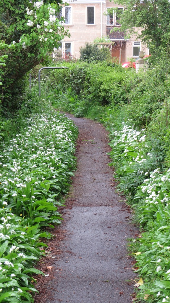 A Somerset footpath. Look at all that wild garlic!