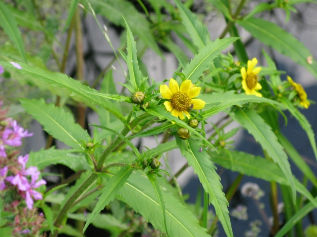 Nodding Bur-marigold (Bidens cernua) (By Malte (Own work) [CC BY 3.0 (http://creativecommons.org/licenses/by/3.0)], via Wikimedia Commons)