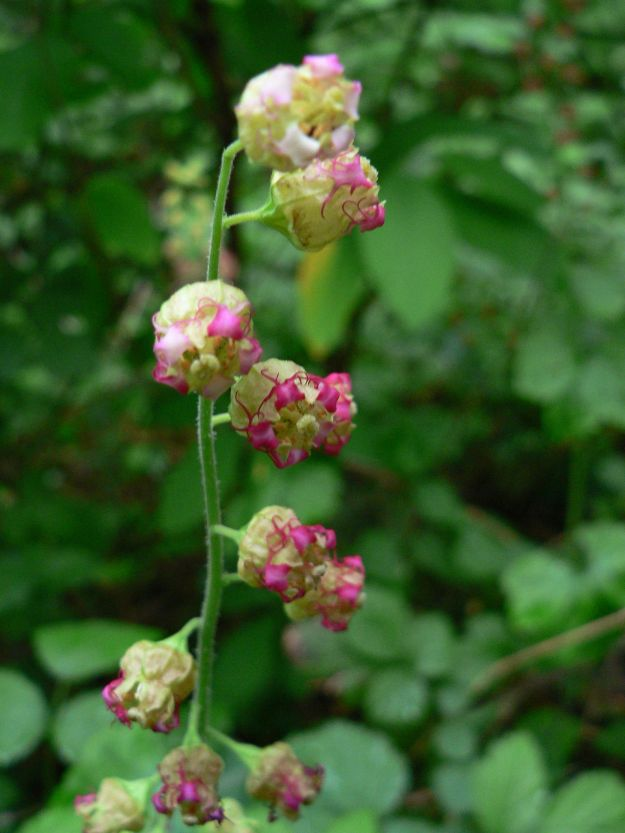 """Older Fringecup flowers, rapidly turning red(""""Tellima grandiflora 07469"""". Licensed under CC BY 2.5 via Wikimedia Commons - http://commons.wikimedia.org/wiki/File:Tellima_grandiflora_07469.JPG#/media/File:Tellima_grandiflora_07469.JPG)"""