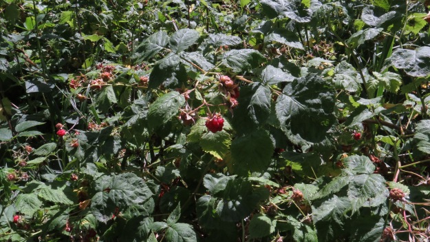 Raspberry (Rubus idaeus)