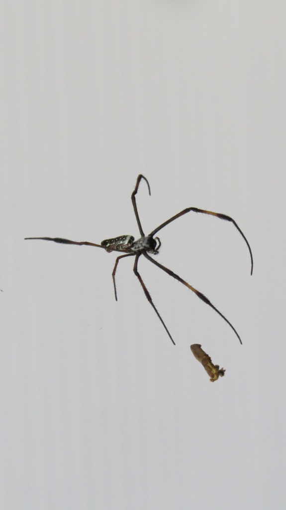 Adolescent Golden Orb Web Spider