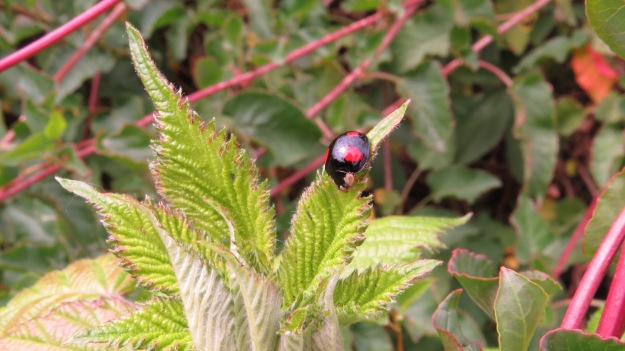 Another Harlequin ladybird - they are very variable in colour.