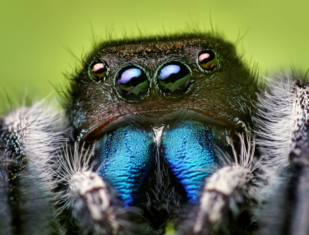 "Phidippus audax (also known as the Daring Jumping Spider) (""Phidippus audax male"" by Opoterser - Own work. Licensed under CC BY-SA 3.0 via Wikimedia Commons - http://commons.wikimedia.org/wiki/File:Phidippus_audax_male.jpg#/media/File:Phidippus_audax_male.jpg)"