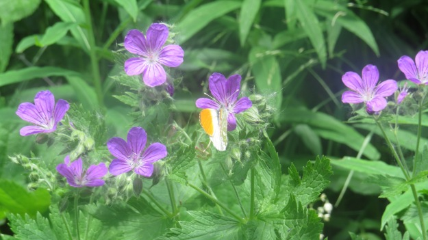Orange-tip butterfly - a familiar face!