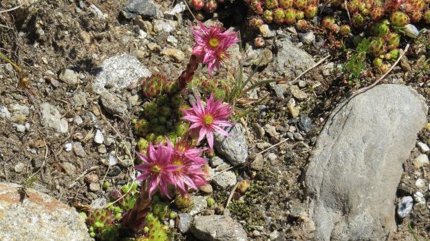 Mountain Houseleek (Sempervivum montanum)