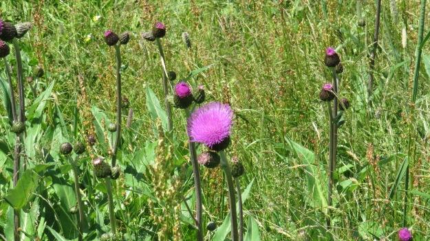Melancholy Thistle (Cirsium helenoides)