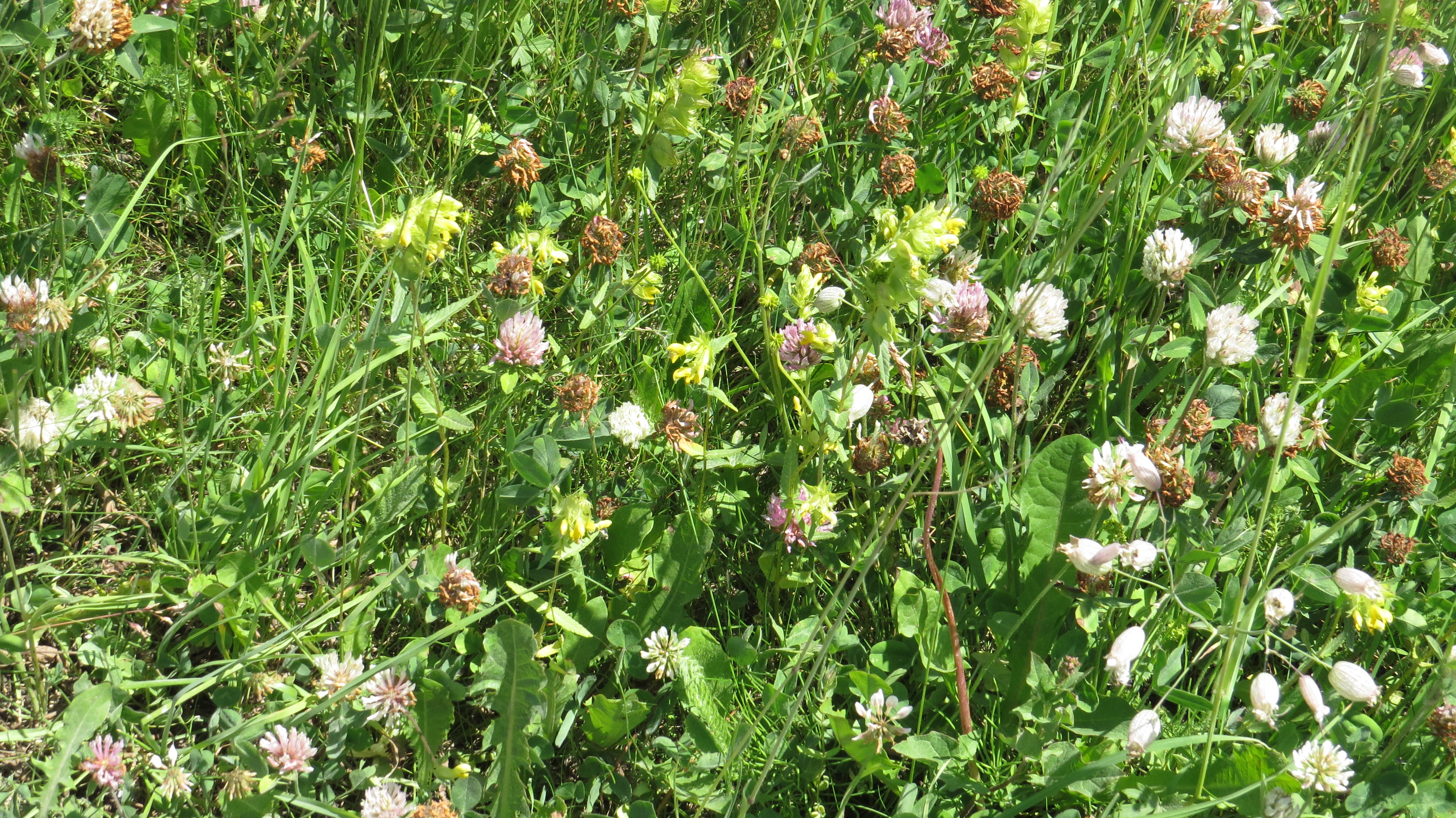 Wednesday Weed From Obergurgl Yellow Rattle And A Mountain Tale