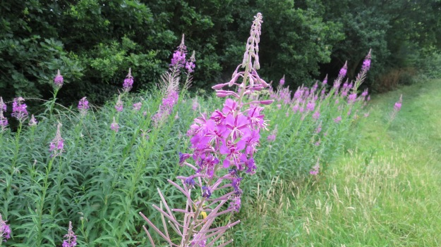 Rosebay Willowherb (Chamerion angustifolium)