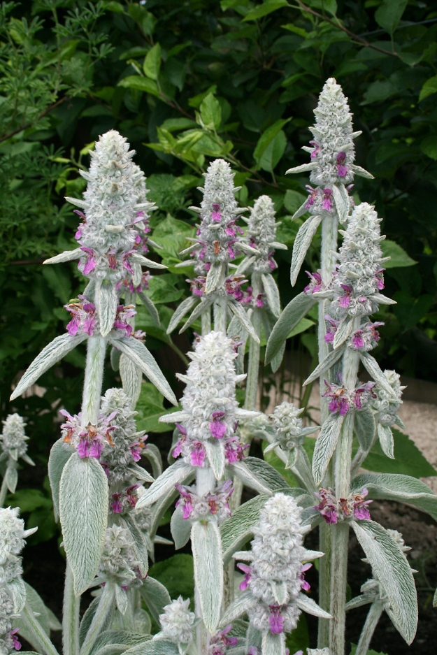Lamb's Ear (Stachys byzantina) (By Jean-Pol GRANDMONT (Own work) [CC BY-SA 3.0 (http://creativecommons.org/licenses/by-sa/3.0) or GFDL (http://www.gnu.org/copyleft/fdl.html)], via Wikimedia Commons)