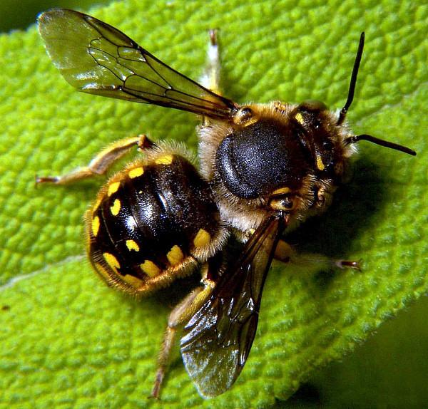 "Wool-carder bee (Anthidium manicatum) (""Anthidium manicatum male"" by Bruce Marlin - Own work. Licensed under CC BY-SA 2.5 via Commons - https://commons.wikimedia.org/wiki/File:Anthidium_manicatum_male.jpg#/media/File:Anthidium_manicatum_male.jpg)"