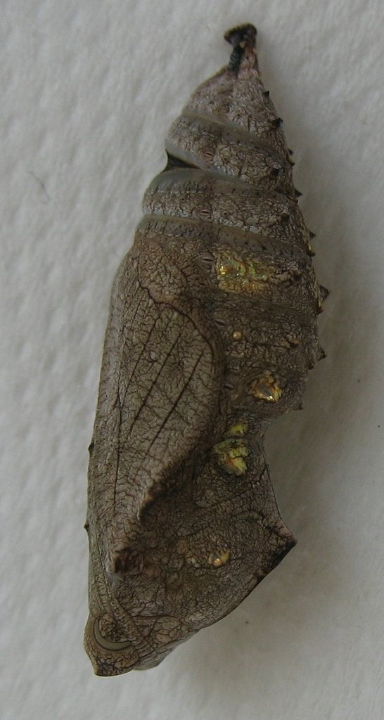 "Red Admiral Chrysalis (Red Admiral pupa (""Chrysalis-butterfly-vulcan-chrysalide-papillon-vulcain-vanessa-atalanta-2"" by Emmanuel Boutet - Own work. Licensed under CC BY-SA 3.0 via Wikimedia Commons - https://commons.wikimedia.org/wiki/File:Chrysalis-butterfly-vulcan-chrysalide-papillon-vulcain-vanessa-atalanta-2.jpg#/media/File:Chrysalis-butterfly-vulcan-chrysalide-papillon-vulcain-vanessa-atalanta-2.jpg)"