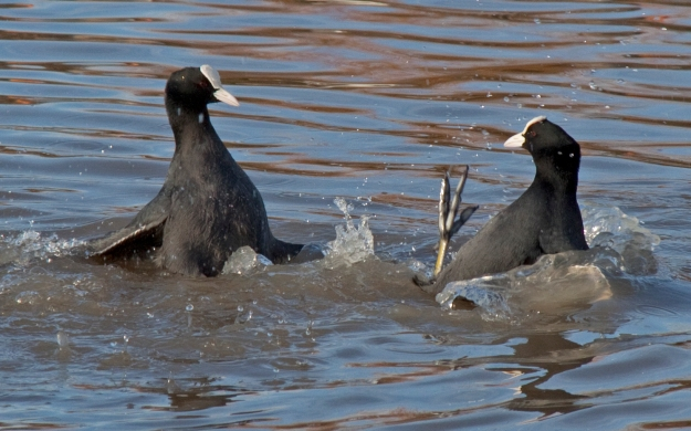 By Tony Hisgett from Birmingham, UK (Coots 1c Uploaded by Magnus Manske) [CC BY 2.0 (http://creativecommons.org/licenses/by/2.0)], via Wikimedia Commons