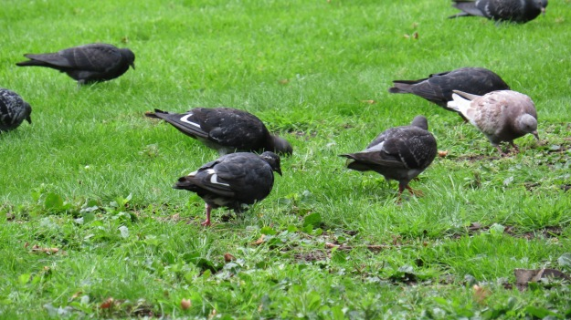 Two almost-Black pigeons, with interesting white wing feathers.