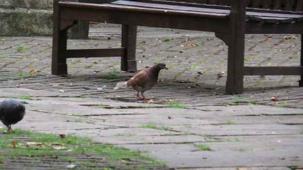 Red pigeon in stealth mode