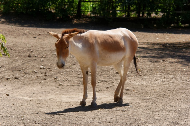 "A captive onager, with no Willowherbs in sight...(""Rostov-on-Don Zoo Persian onager IMG 5268 1725"" by Alexxx1979 - Own work. Licensed under CC BY-SA 3.0 via Commons - https://commons.wikimedia.org/wiki/File:Rostov-on-Don_Zoo_Persian_onager_IMG_5268_1725.jpg#/media/File:Rostov-on-Don_Zoo_Persian_onager_IMG_5268_1725.jpg)"
