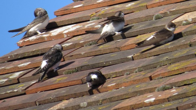 House Martins preparing to head south for the winter