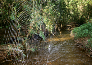 """Caerostris darwini web"" by Ingi Agnarsson, Matjaž Kuntner, Todd A. Blackledge - Lalueza-Fox, C., Agnarsson, I., Kuntner, M., Blackledge, T. A. (2010). Bioprospecting finds the toughest biological material: extraordinary silk from a giant riverine orb spider. PLoS ONE 5: e11234. doi:10.1371/journal.pone.0011234. Licensed under CC BY 2.5 via Commons - https://commons.wikimedia.org/wiki/File:Caerostris_darwini_web.png#/media/File:Caerostris_darwini_web.png"