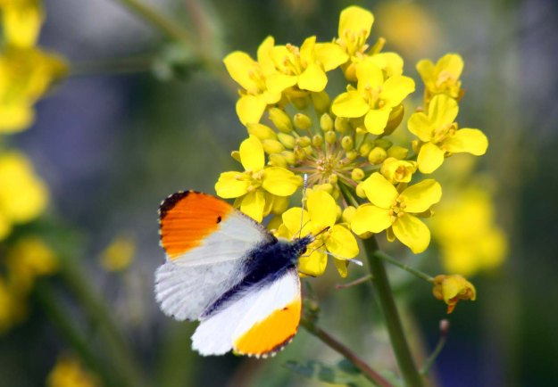 Orange-tip butterfly on another brassica, Oil-seed rape