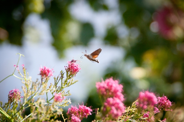 Hummingbird Hawk Moth (Macroglossum stellatarum) (By Marcel Oosterwijk [CC BY-SA 2.0 (http://creativecommons.org/licenses/by-sa/2.0)], via Wikimedia Commons)