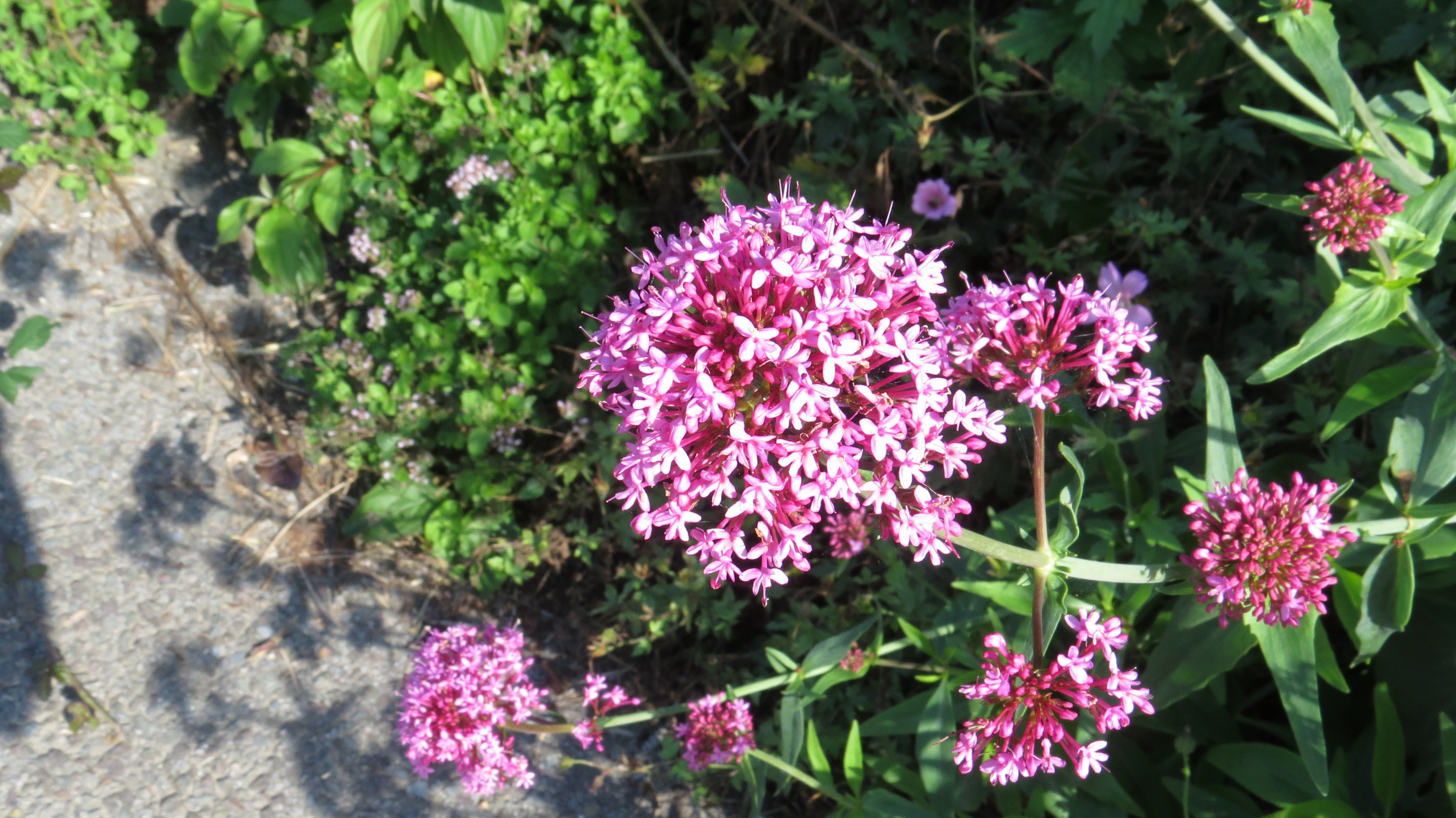 Wednesday weed red valerian bug woman adventures in london close up you can see that the head is made up of hundreds of tiny 5 petalled flowers as the year goes on these are replaced by the fluffy seeds which mightylinksfo