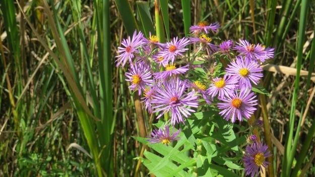 New England Aster (Symphyotrichum novae-anlgiae)
