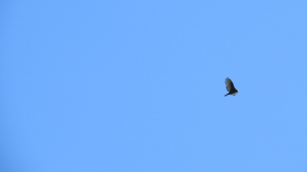 Turkey Vulture (Carthartes aura)